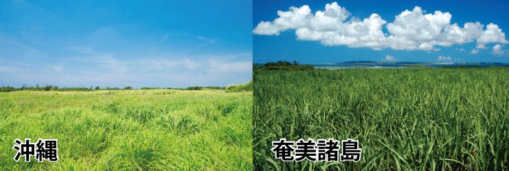 ウコン栽培地