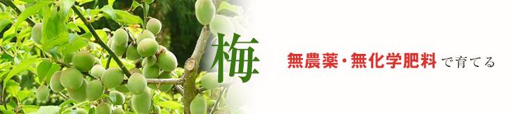 梅 無農薬・無化学肥料で育てる