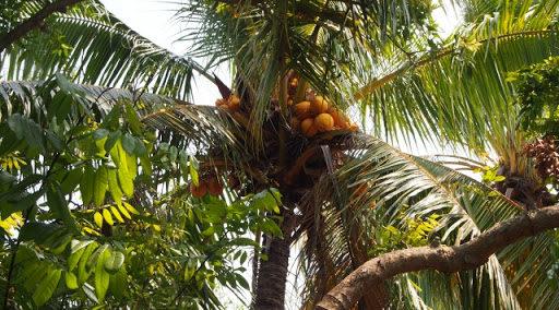ココナッツオイルはコレステロールを上げる?