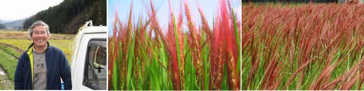 無農薬赤米