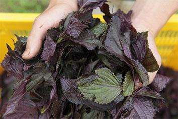 紫蘇を収穫する