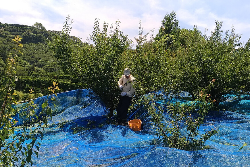 竹内農園の梅