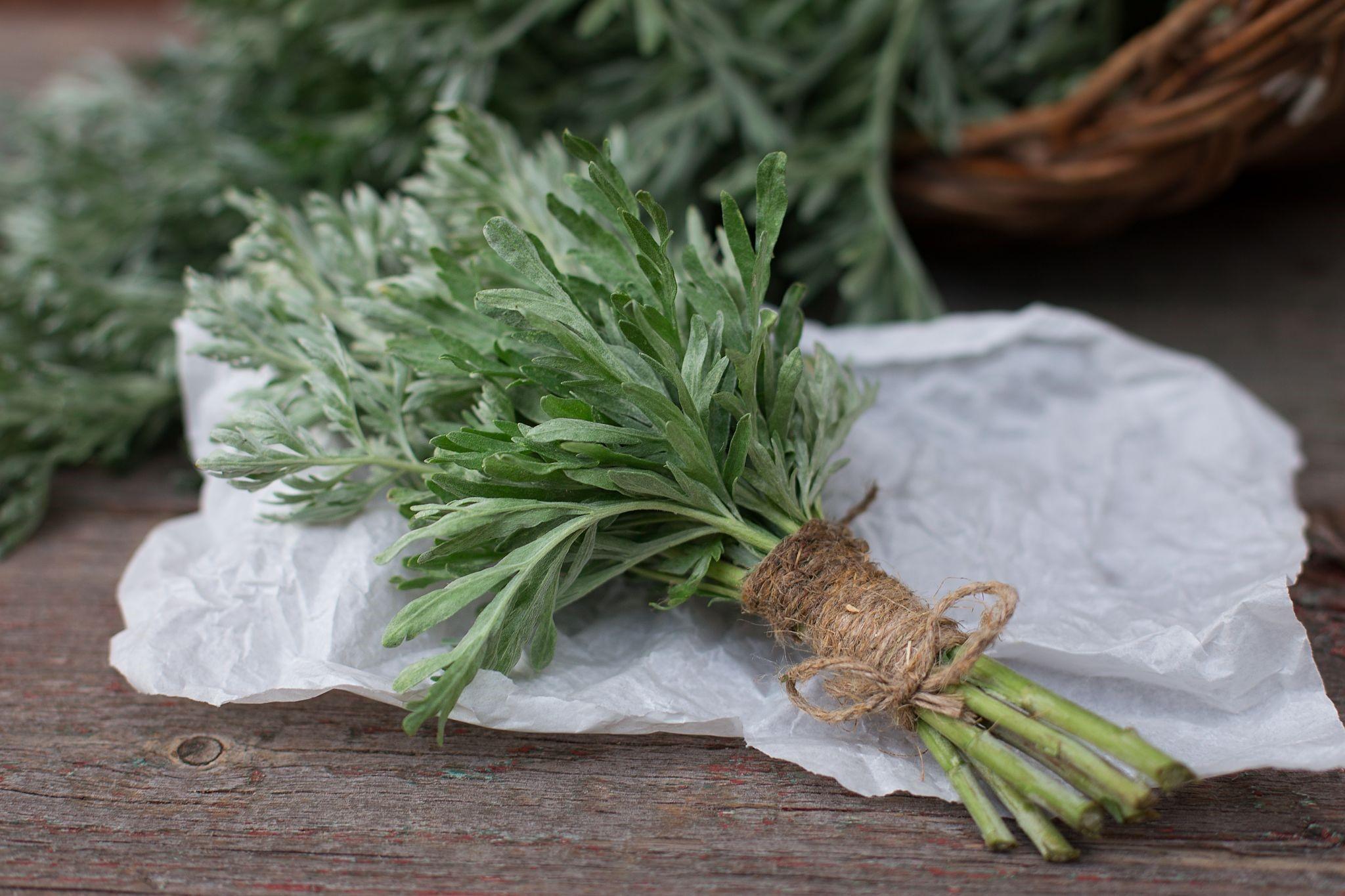 mugwort as an antioxidant power