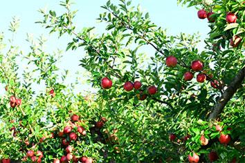 山形産のりんごを使用