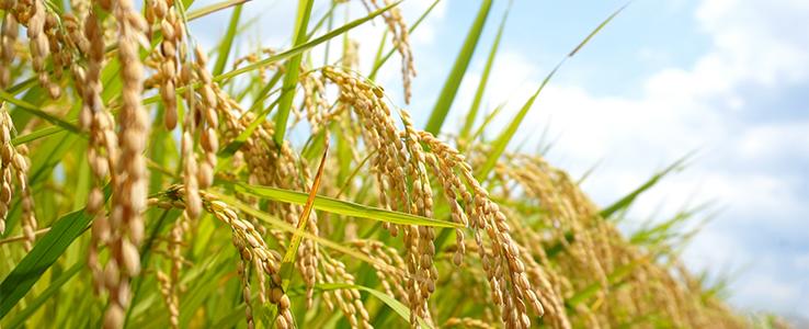 おがた健康農園朝日玄米