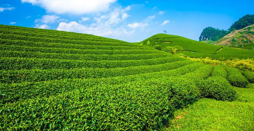 無農薬・無化学肥料栽培の有機プーアール茶