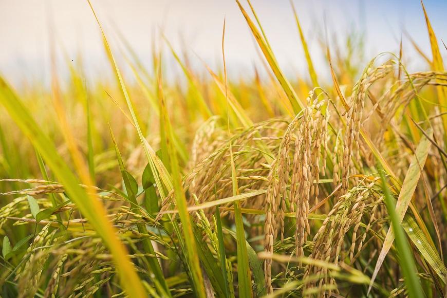国産の有機玄米