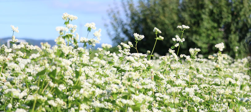 buckwheat_plant