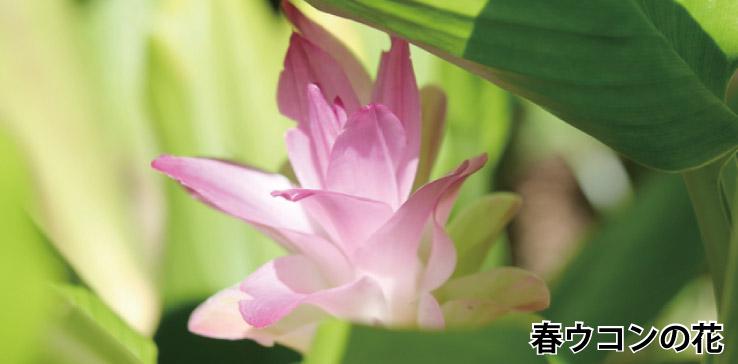 春ウコンの特徴