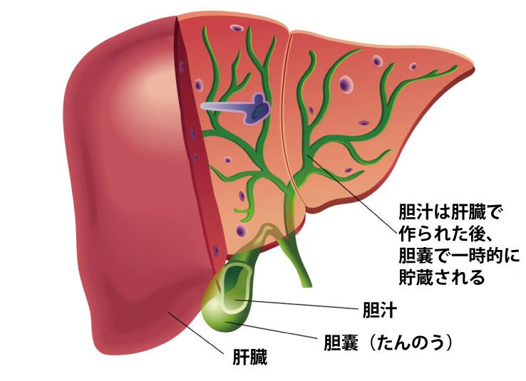 ウコンは胆汁の分泌を促進し、肝臓病の予防にも効果有り