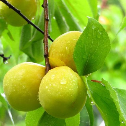 umeboshi_PrunusMume_tree