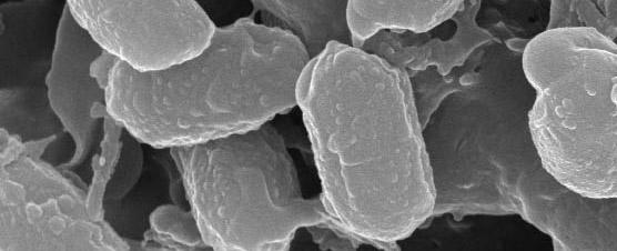Bacillus Natto Starter Spores magnified
