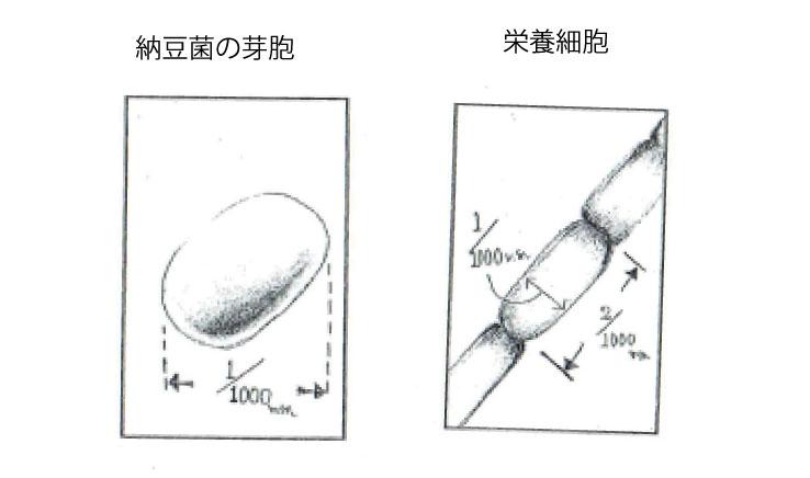 納豆菌の芽胞