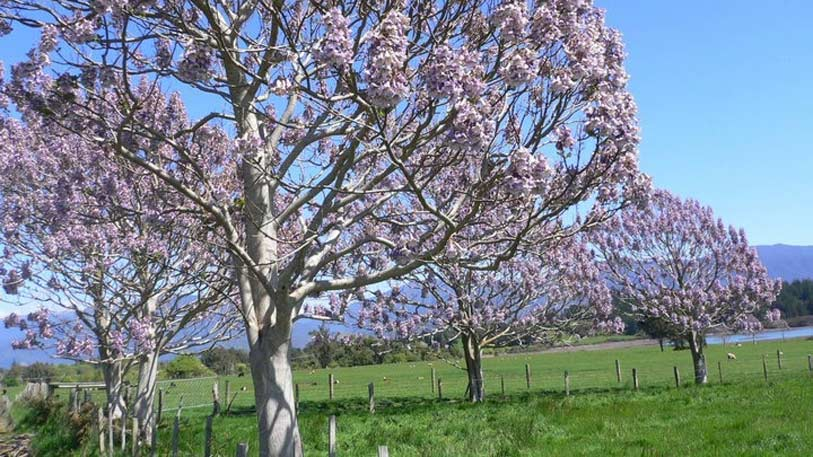kiri_tree