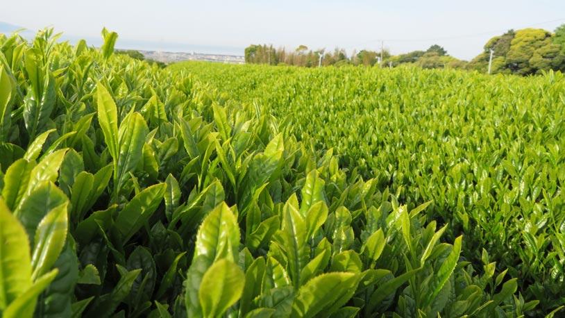 green_tea_plantation