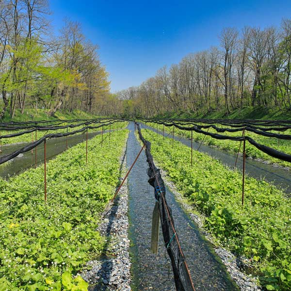 wasabi_cultivation_field
