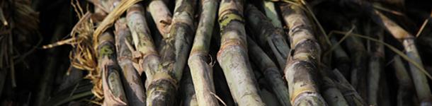 wasanbon_sugar_sugarcane