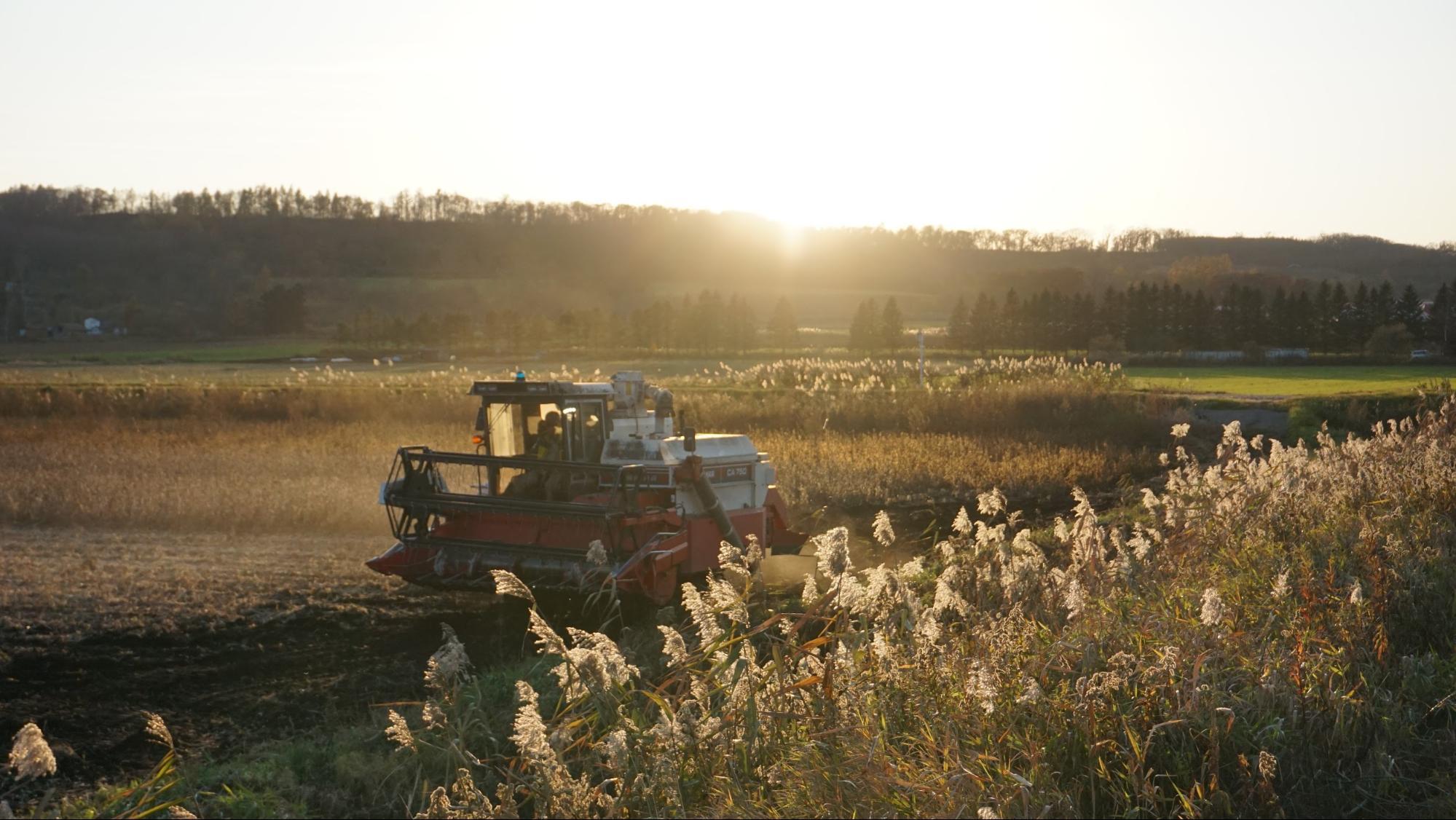 Q豆がしっかり育ちきるまで、収穫はしないのはなぜでしょうか
