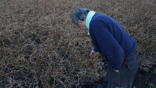 黒千石の豆